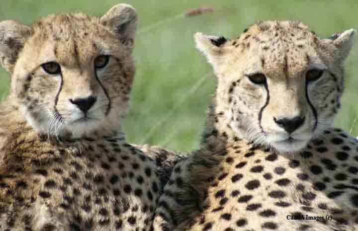 cheetah cubs   google images search engine
