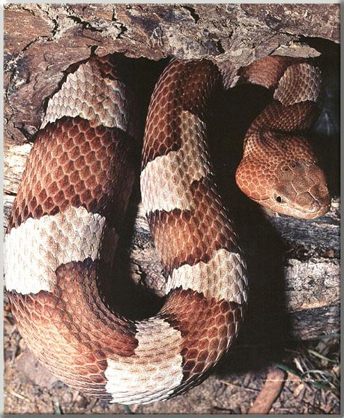Two Northern Copperheads