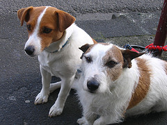 How Much Do Jack-rat Terriers Shed? - Blurtit